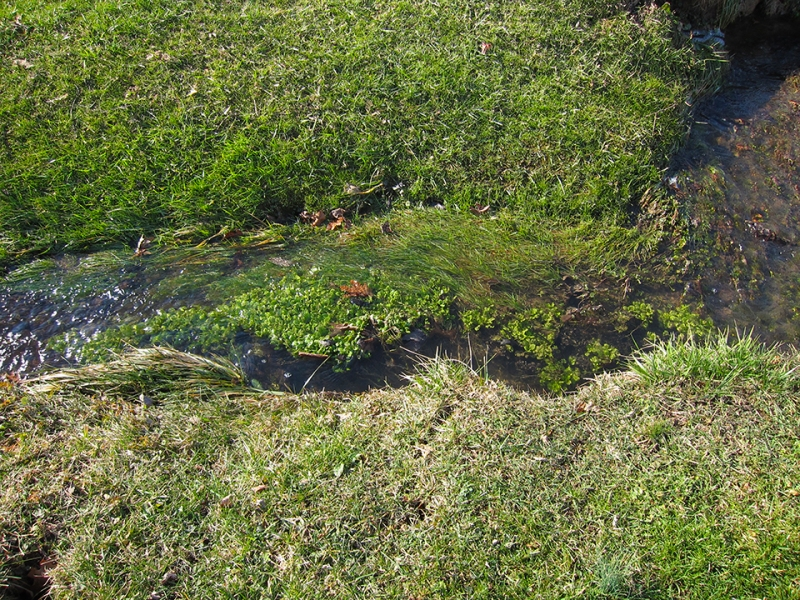 water cress growing wild