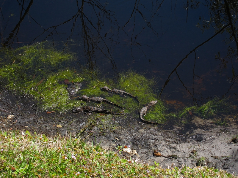 alligator puppies